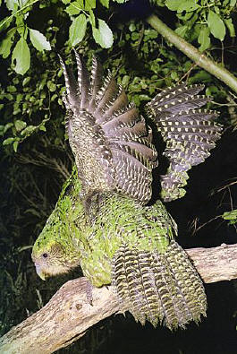 Evolution The New Zealand Kakapo